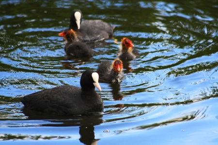 Common Coot with children